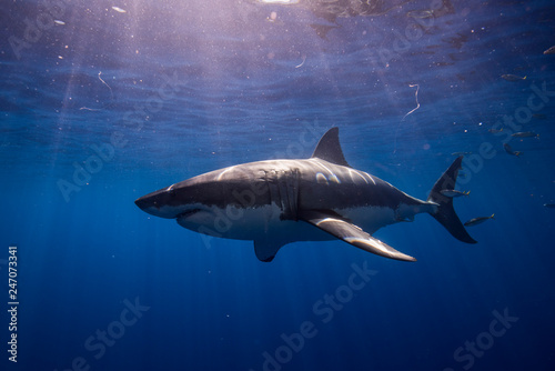 Great White Shark  in cage diving Canvas Print