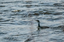 The Great Cormorant, A Black Piscivorous Bird, Swimming In River On A Cold Sunny Day, Ripples On Water
