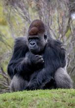 Western Lowland Gorilla Sitting On A Hill