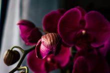 Purple Orchid. Closeup Selected Focus Purple Color Beautiful Tropical Orchid Flower.