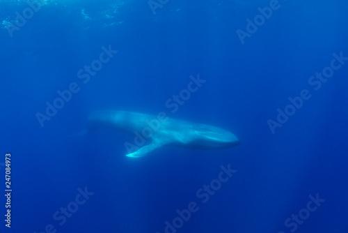 Fotografie, Obraz  Blue whale, Atlantic Ocean, The Azores, Portugal.