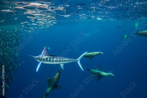 Cuadros en Lienzo Striped marlin and California sea lions hunting sardines off the Pacific Coast of Baja California, Mexico