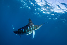 Striped Marlin Hunting Sardines Off The Pacific Coast Of Baja California, Mexico.