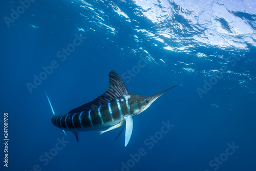 Photo  Striped marlin hunting sardines off the Pacific Coast of Baja California, Mexico