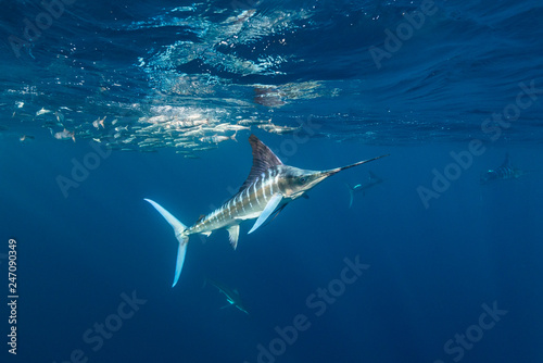 Photo  Striped marlin and California sea lions hunting sardines off the Pacific Coast of Baja California, Mexico