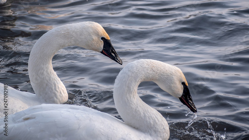 Foto op Aluminium Zwaan Swans are playing in open water of a lake at early spring time