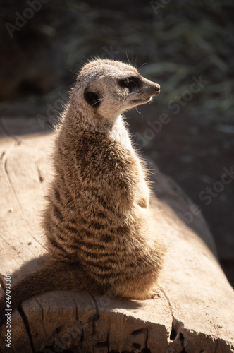 Fotografie, Obraz  Captive meerkat at zoo in Colorado Springs, Colorado