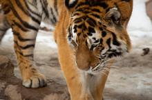 Tiger In Snow At Zoo In Colorado Springs, Colorado