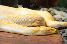 Albino Python In Captivity At ...