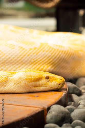 Albino burmese python in captivity at zoo in Colorado Springs, Colorado