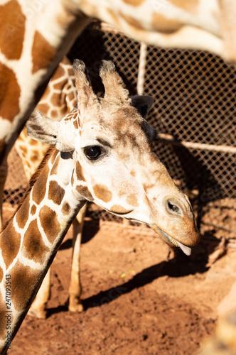 Fotografie, Obraz  Adolescent giraffe looking for food at zoo in Colorado