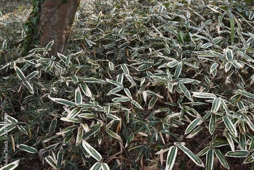 Kuma bamboo grass (Sasa veitchii) Tableau sur Toile