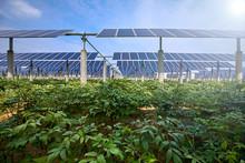Vegetables Grown Under Solar Photovoltaic Panels