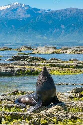 Naklejka premium Mała foczka grająca na skale na wybrzeżu, morskie zwierzę