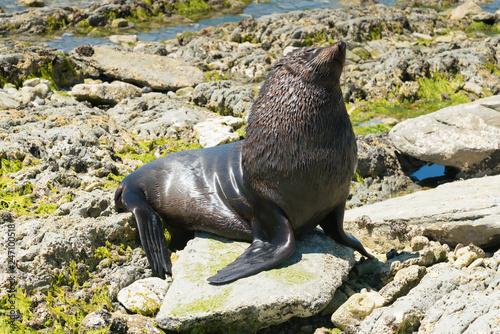 Naklejka premium Śliczna foczka na wybrzeżu, naturalne życie morskie na plaży