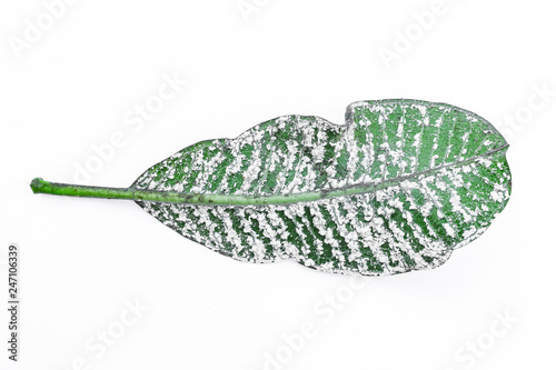 White aphids on leaves Isolated on white background.