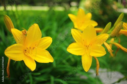 Beautiful blooming iris flower in garden.