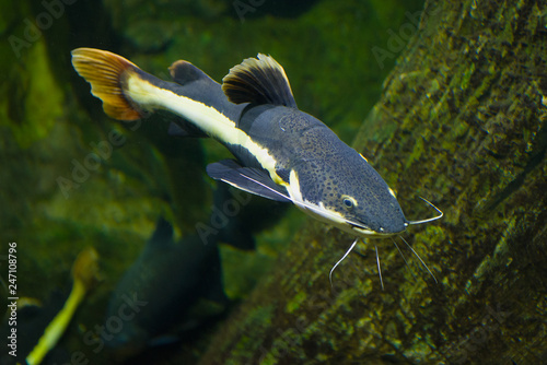 Foto  Flat-headed catfish (Phractocephalus hemioliopterus) in Chiang Mai aquarium