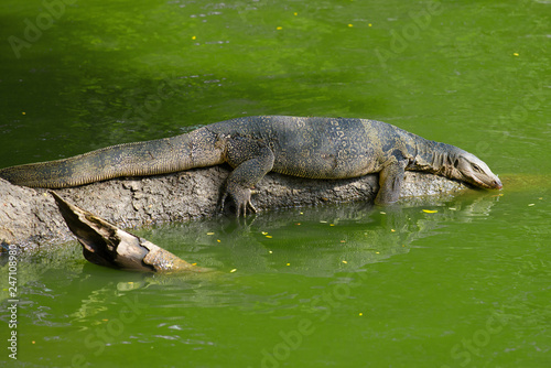 Foto  The striped monitor lizard (water monitor lizard) lies on the fallen tree trunk