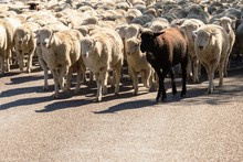Sheep Being Herded On A Livestock Corridor Road