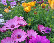 Colorful Daisy Flowers Closeup...