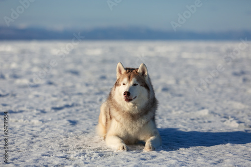 Fotografering  Gorgeous dog breed siberian husky is lying on the snow at sunset and looking to the camera