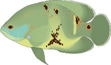 Oscar Swimming Vector Illustration