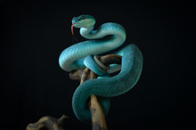 Blue Insularis Pit Viper