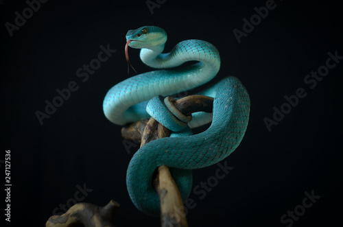 blue insularis pit viper Canvas Print