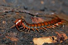 Centipede, Scolopendra Sp., On Mossy Tree In Tropical Rainforest, Farankaraina National Park, Madagascar Wildlife And Wilderness