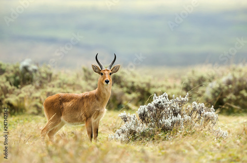 Close up of a Bohor Reedbuck in Gaysay Grasslands