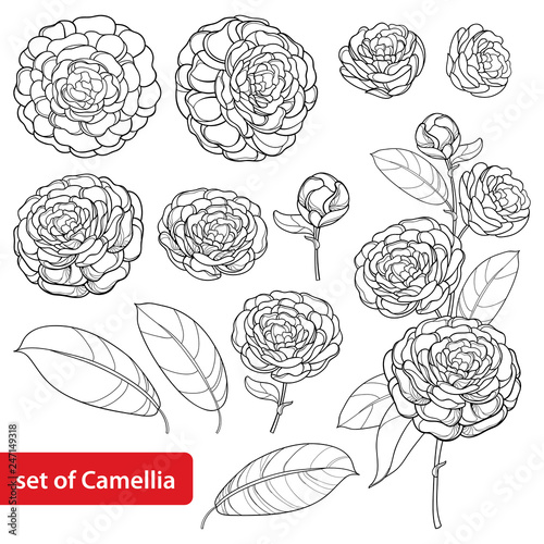 Fotografia Vector set with outline Camellia flower bunch, bud and leaves in black isolated on white background