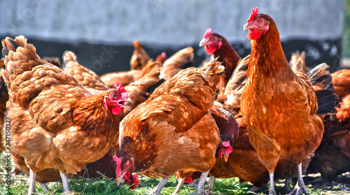 Fototapeta Chickens on traditional free range poultry farm