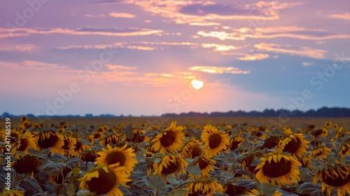 Fotografie, Obraz big yellow flower discs in sunflower field against cloudy sunset sky, summer lat