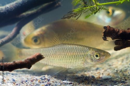 Fotobehang Vissen Pseudorasbora parva, stone moroko or topmouth gudgeon, freshwater fish in beautiful biotope aquarium, side view nature photo