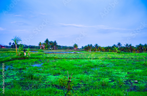 Green rice field terrace view with rice, tree, plantation for travel destination for school family holiday in the spring summer in a remote island