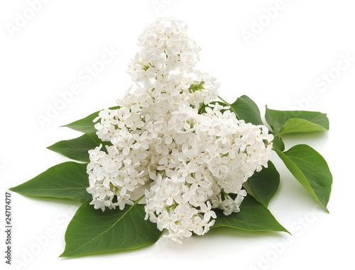 Wall Murals Hydrangea White flower and leaf.