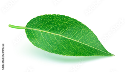 Pear leaf with soft shadow isolated on a white background with clipping path. One of the best isolated pears leaves that you have seen.