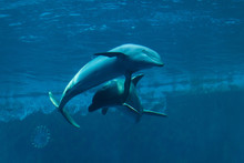 Common Bottlenose Dolphins (Tu...