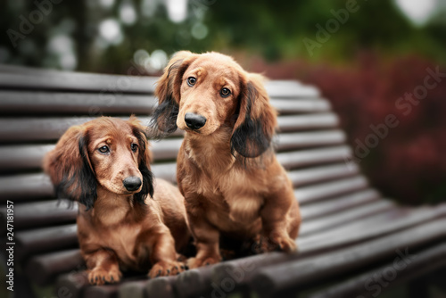 fototapeta na lodówkę two adorable dachshund puppies posing together on a bench