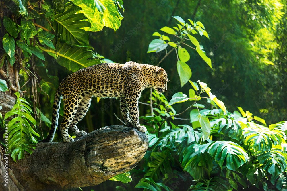 Fototapeta Leopard on a branch of a large tree in the wild habitat during the day about sunlight