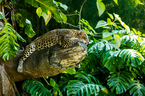 Poster Panther Leopard on a branch of a large tree in the wild habitat during the day about sunlight