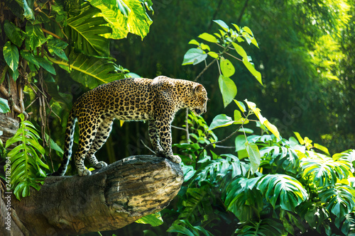 Poster Luipaard Leopard on a branch of a large tree in the wild habitat during the day about sunlight