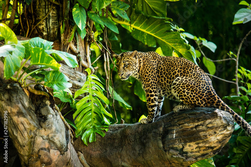 Photo  Leopard on a branch of a large tree in the wild habitat during the day about sun