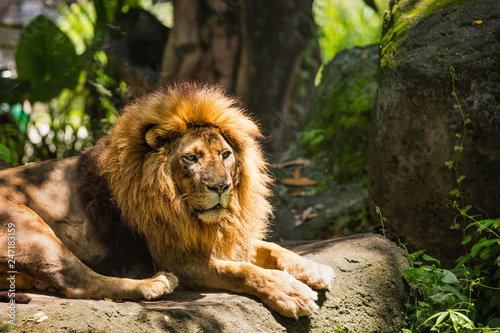Zdjęcie XXL Lwa afrykańska samiec z piękną grzywą w dzikiej naturze podczas dnia w świetle słonecznym