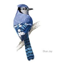 Blue Jay Hand Drawn Vector Ill...