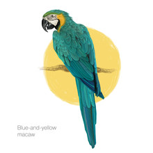 Blue-and-yellow Macaw Hand Drawn Vector Illustration