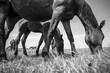 horses, horse, horses, landscape, field, nature, river, summer, animals, black and white, herd