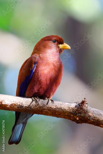 Fotografering  Beautiful Bird Broad-billed Roller, Eurystomus glaucurus, Ankarafantsika Nationa