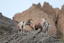 Bighorn Sheep, Ovis Canadensis